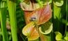1, 2 o 3 plantas carnívoras sarracenia