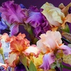2-Pack of Bare-Root Hybridizer German Irises