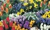 50, 100 or 200 Spring Colour Mixed Bulb Collection