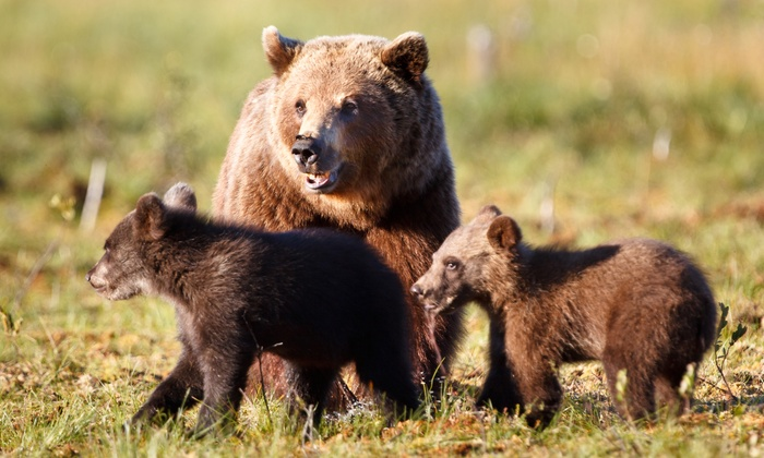 """MUZEO Museum and Cultural Center - The Colony: Visit to """"Cougars and Grizzlies"""" Exhibit at MUZEO Museum and Cultural Center (55% Off). Two Options Available."""
