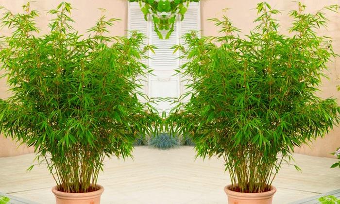 Three Fargesia Bamboo Plants