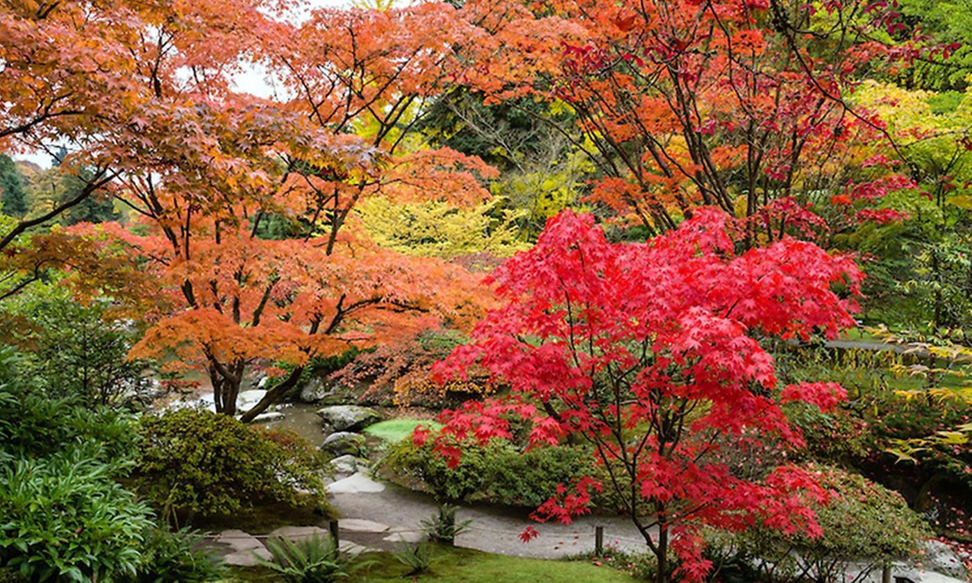 Set of Three Large Japanese Maples
