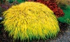 "Golden Japanese Forest Grass, 2"" Potted Plant"