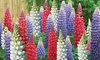 Collection de Lupins