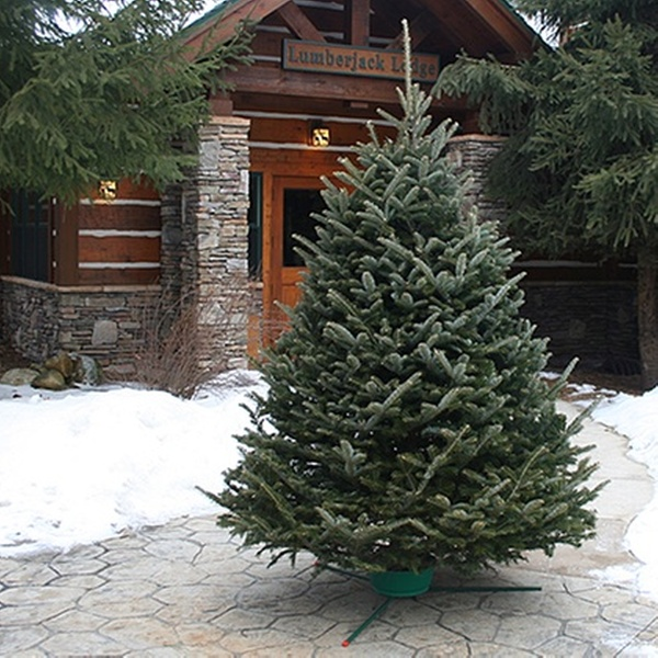 Real Christmas Tree.Fresh Cut Christmas Tree With Free Home Delivery