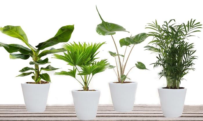 bis zu 68 rabatt 4er set exotische hauspflanzen groupon. Black Bedroom Furniture Sets. Home Design Ideas