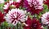 Pre-Order: Dahlia Flower Bulbs (5-Pack)
