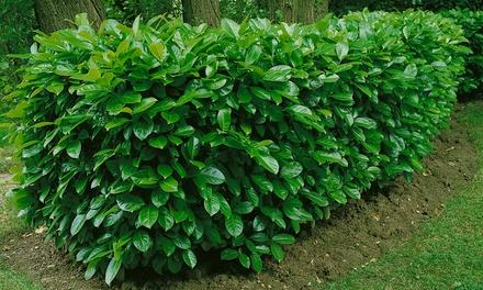 Cherry Laurel Hedge Plants