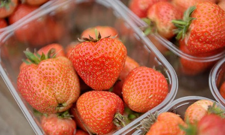 Strawberry Picking and Ice Cream for Two or Four at Spilman's Soft Fruits (Up to 50% Off)