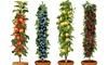 Column/Pillar Fruit Trees