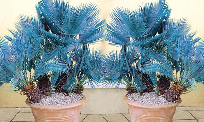 4x oder 8x blaue zwerg palme groupon goods. Black Bedroom Furniture Sets. Home Design Ideas