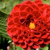 Cardinal Collection Red Flower Bulb Set (25-Piece)