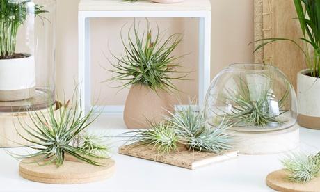 Lot de 3, 6 ou 12 plantes exotiques d'air Tillandsia