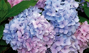 Pre-Order: Nikko Blue, Annabelle, or Pink Beauty Hydrangea Root Plant