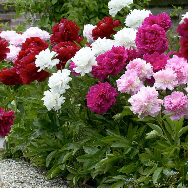 Up To 72 Off On Double Mixed Peony Flower Bulbs Groupon Goods