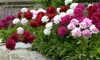 Pre-Order: Double Dutch Mixed Peony Flower Bulbs (4-, 8-, or 16-Pack)