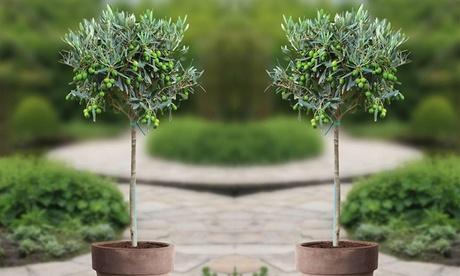 Set de 2 arbustos de olivos Olea Europaea 90-100 cm