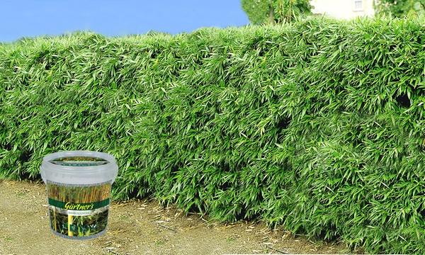 Baldur Garten 8 16 Oder 24er Set Pflanzen Winterharte Bambus Hecke