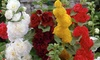 Pre-Order: Mixed Hollyhocks Bare Root Plants (5- or 10-Pack)