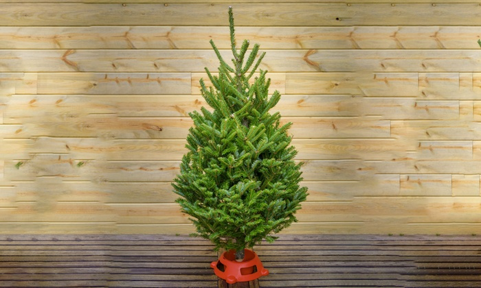 up to 51 off fraser fir trees from five star christmas tree