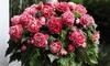 Begonia Camelia Plant Multipack