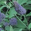 "Butterfly Bush Nanho Blue Lilac 3"" Potted Plants (2-Pack)"