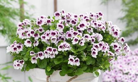 Set di 6 piante di gerani antizanzare