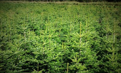 image for Cut-Your-Own Nordman or Fraser Fir Christmas Tree from Easter Rattray Farm (Up to 40% Off)