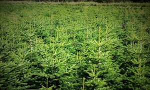 Easter Rattray Farm: Cut-Your-Own Nordman or Fraser Fir Christmas Tree from Easter Rattray Farm (Up to 40% Off)