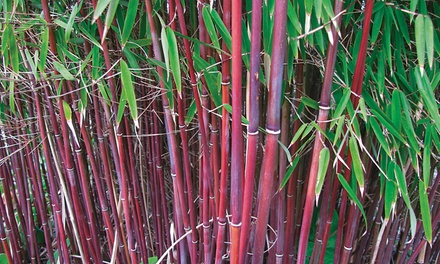 Red Bamboo Asian Wonder 1, 2 or 3 plants