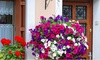 6 piante di petunia miste