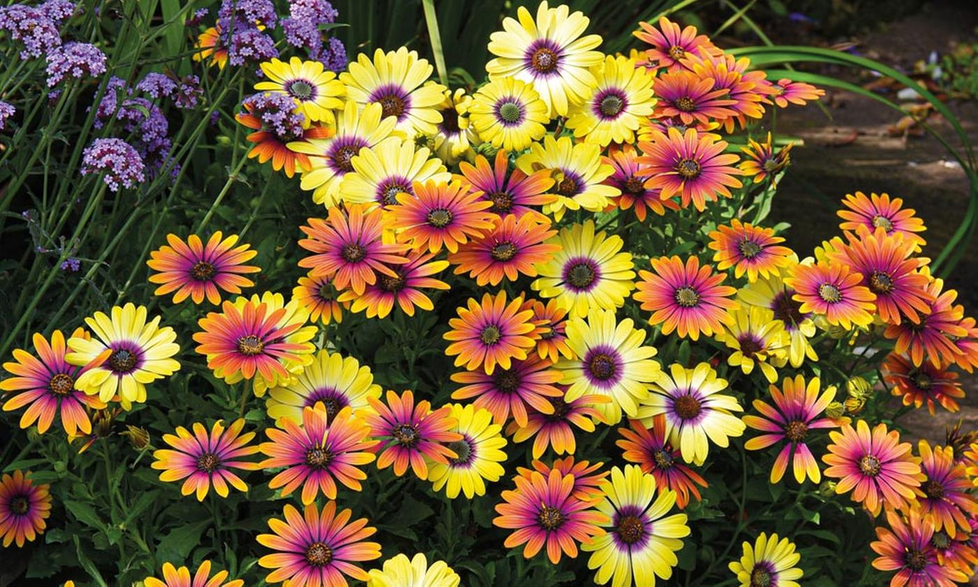 Osteospermum Bright-Eyed Duo - Up to 10 Plants