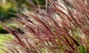 1 o 2 plantas miscanthus red chief