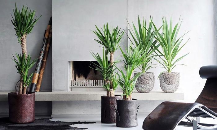 Groupon Goods Global GmbH: 1 ou 2 palmiers d'intérieur Yucca
