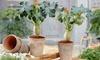 Dos plantas Jatropha Podagrica