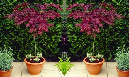 Large Weeping Acer Japanese Maple Tree with Optional Planter and Feed