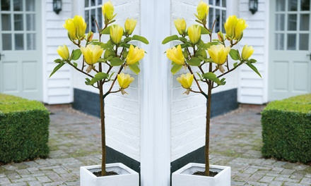 Magnolia Yellow Bird Plant