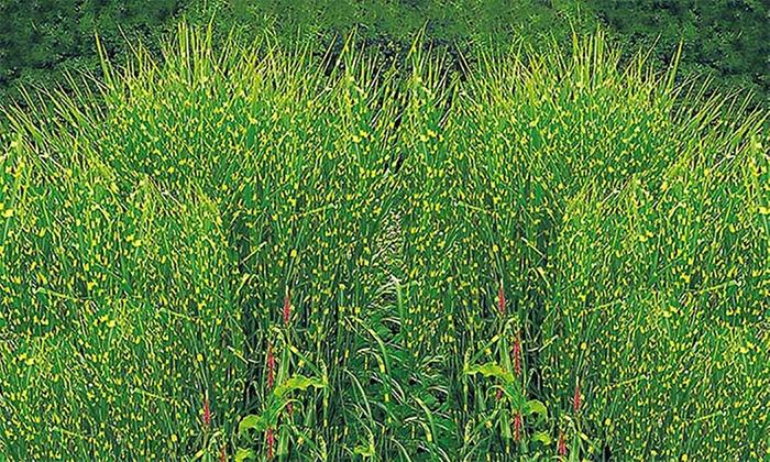 Gräser Pflanzen gräser kollektion groupon