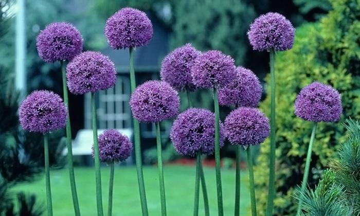 Allium Giant Gladiator Bulbs Groupon Goods