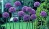 Allium Giant Gladiator Flower Bulbs (6-Pack)