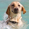 Dog Swimming or Hydrotherapy