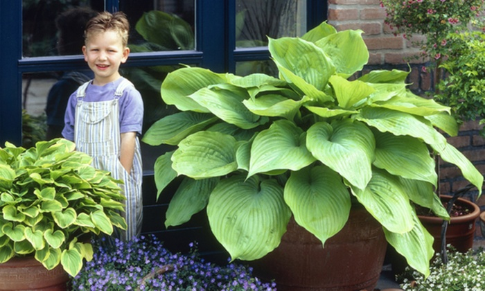 Giant Hosta Sum And Substance Bare Roots 3 Pack Groupon