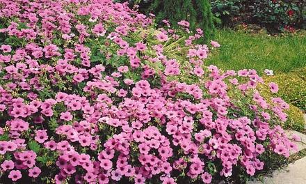 Pack 30 Géraniums vivaces rose foncé