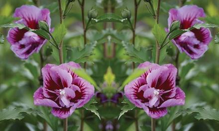 Set van 2 Hibiscus Pillarplanten, geleverd in 13 cm potten