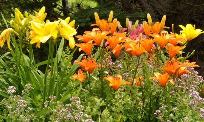 Up To 74 Off On Pre Order Lily Flower Bulbs Groupon Goods