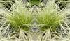 Césped Carex Amazon Mist XL