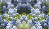 One or Two Ceanothus Californian Lilac Plants