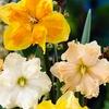 Daffodil Trumpets, Butterflies, & Warm Climate Mix Bulbs (10 pack)