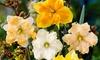 Daffodil Trumpets, Butterflies, & Warm Climate Mixes: Pre-order Daffodil Trumpets, Butterflies, & Warm Climate Mix Bulbs (10 pack)