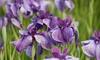 Pre-Order: Pond Iris Plant Activity Kit (6-Piece).: Pre-Order: Pond Iris Plant Activity Kit (6-Piece). Multiple Options Available.